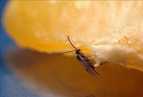 Мошка на кусочке фрукта