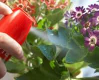 Опрыскивание комнатных цветов инсектицидом