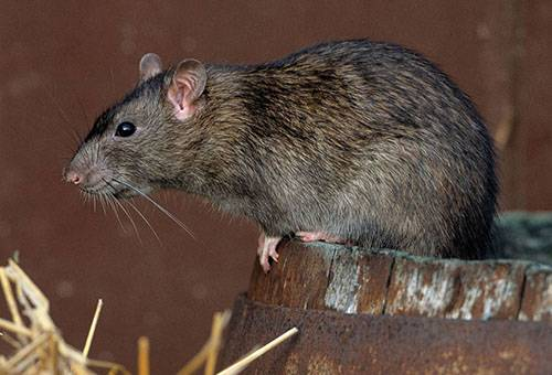 Взрослая крыса