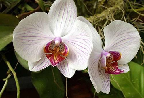 Цветы комнатной орхидеи