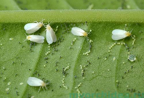Белокрылки на листе растения