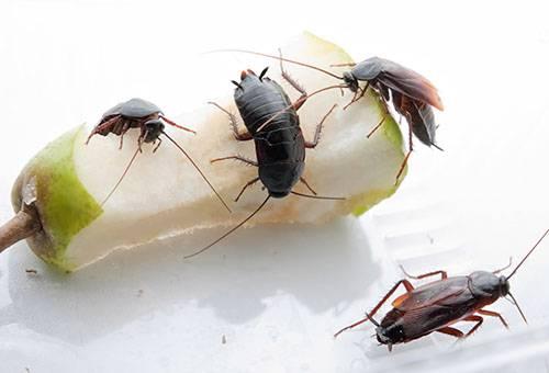 Черные тараканы едят огрызок груши