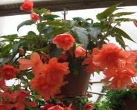 Бегония королевская – россыпь красок в одном цветке 28