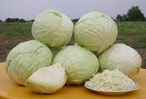Урожай белокочанной капусты