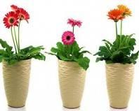 цветки гербера