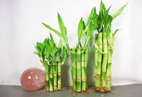 декоративный бамбук в воде