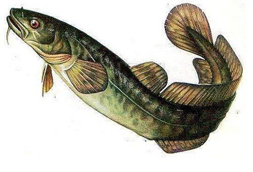 рыба налим