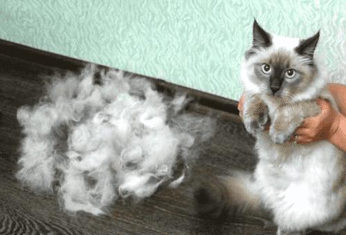 остриженный кот