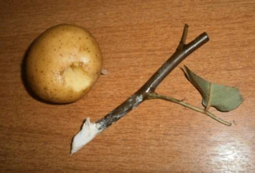 Укоренение черенка розы в картофеле