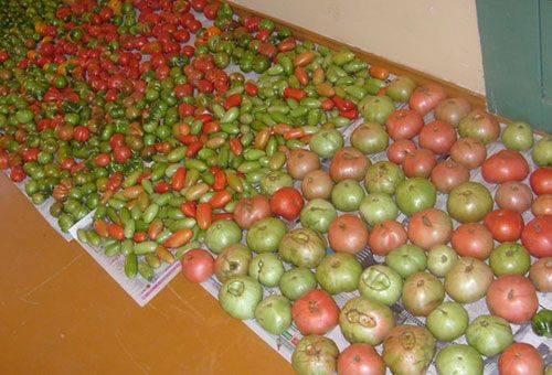 неспелые помидоры разложенные на полу
