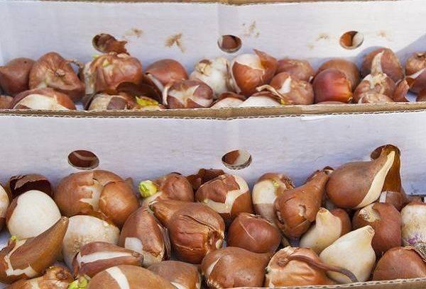Луковицы тюльпанов в ящике