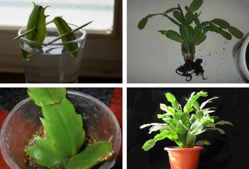 Размножение в домашних условиях цветка декабрист 810