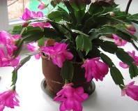 розовый цветок Декабрист