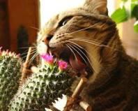 Кот грызет кактус