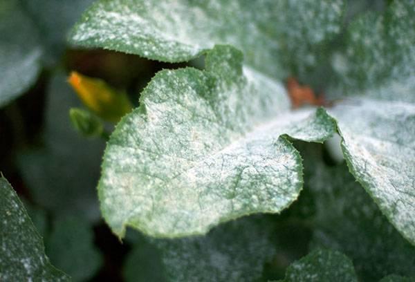Мучнистая роса на листе хризантемы