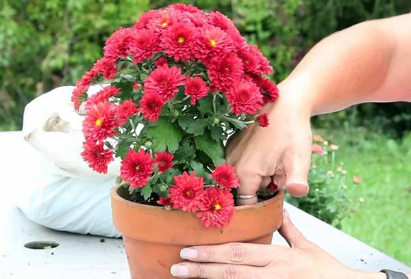 Пересадка цветущей хризантемы