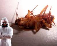 Уничтожение таракана дезинсектором
