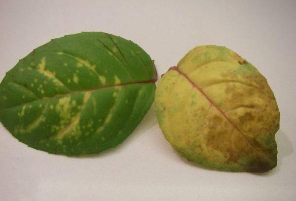 Пожелтевшие листья Фуксии