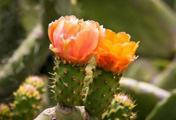 Цветки Опунции
