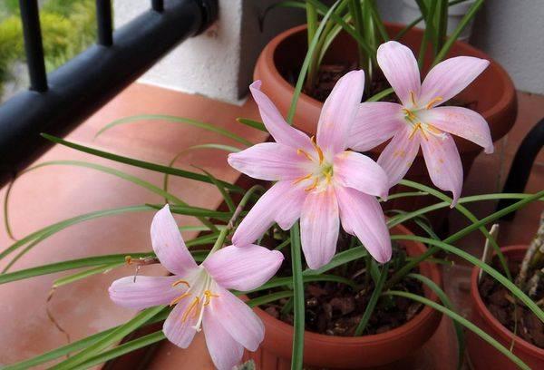 Домашний цветок Зефирантес