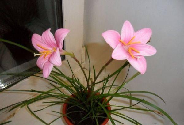 Розовый Зефирантес