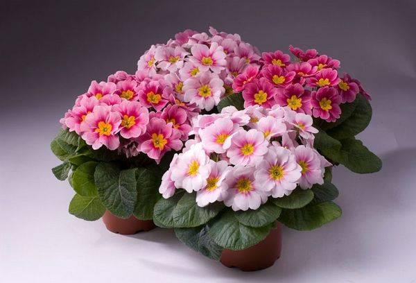 Комнатные цветки