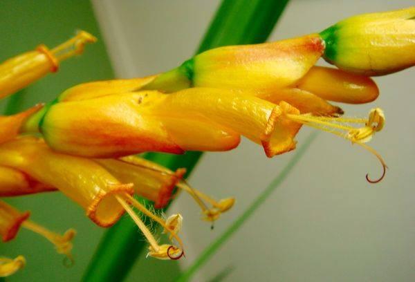 Цветки Санхеции