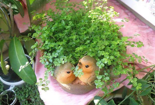Растение гелксина