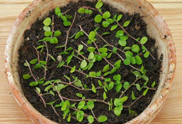Размножение солейролии семенами