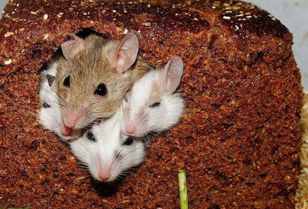 Мыши в хлебе