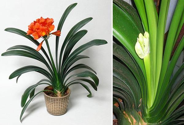 Бутонизация и цветение кливии