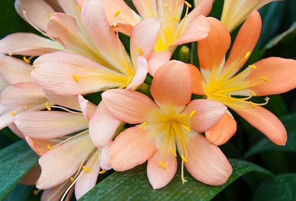 Цветение кливии