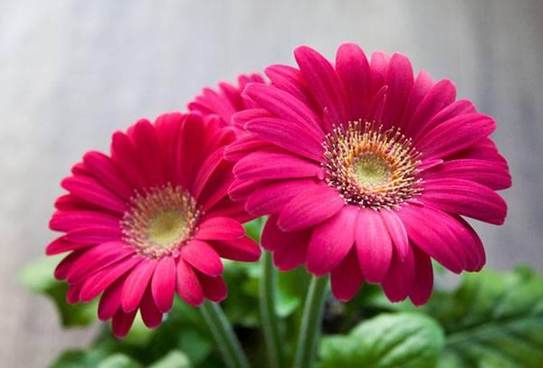 Цветение карликовой герберы