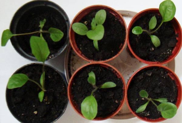 Выращивание комнатных гербер