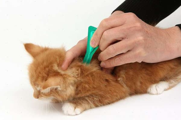 Нанесение капель от блох кошке на холку
