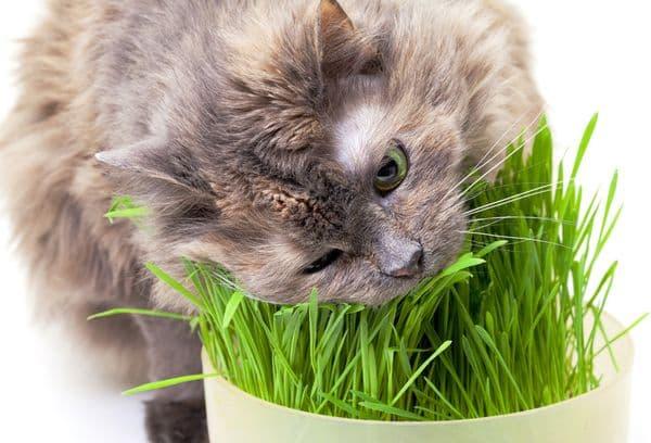 Серый кот ест траву