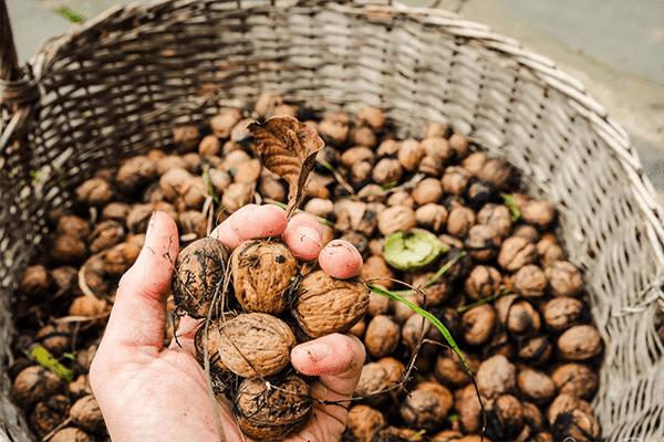 Свежесобранные грецкие орехи