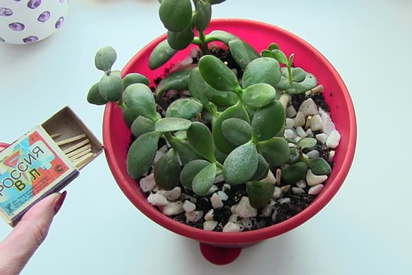 Спички от мошек на комнатных растениях