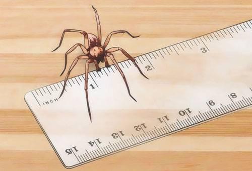 Размеры паука-бродяги