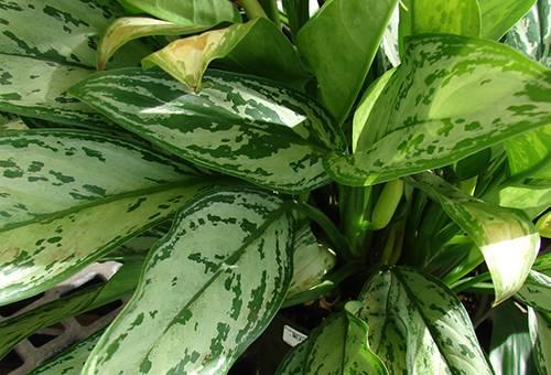 Желтеют листья у аглонемы