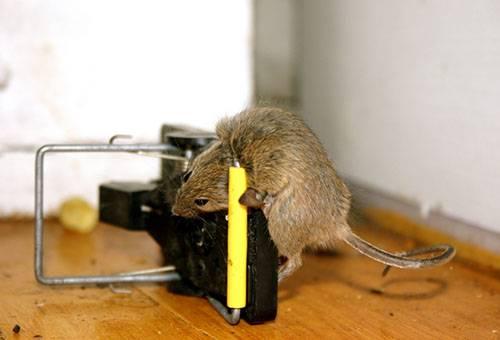 Крыса попалась в крысоловку