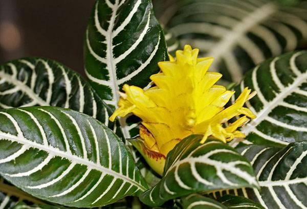 Цветущая афеландра