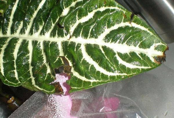 Поврежденный лист афеландры
