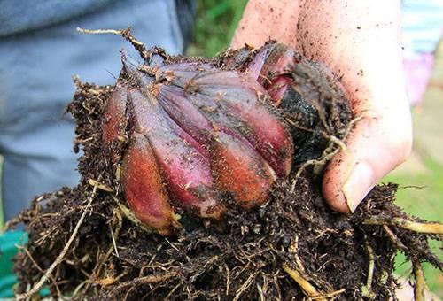 Выкопанная луковица лилии