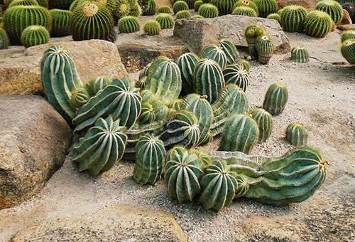 Кактусы в дикой природе