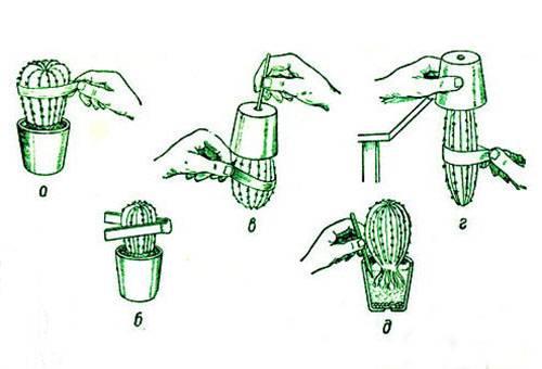 Схема пересадки кактуса