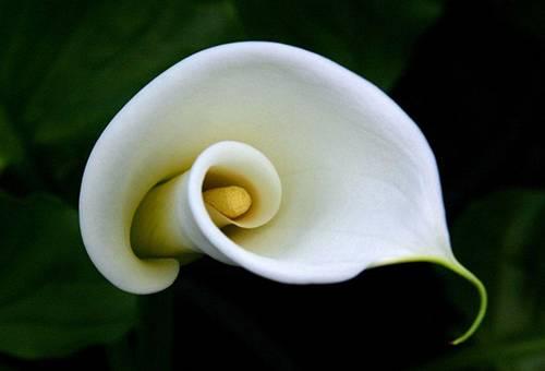 Белый цветок каллы