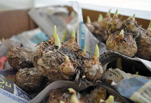Проросшие луковицы калл