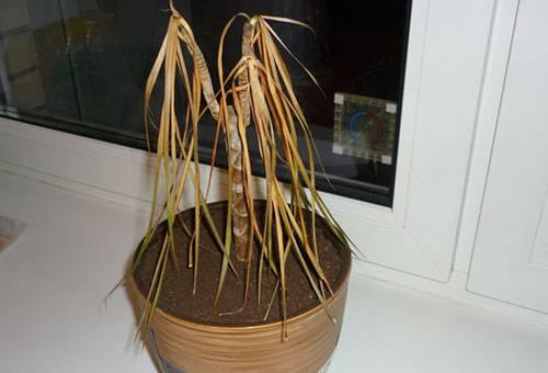 Засохшее растение в горшке