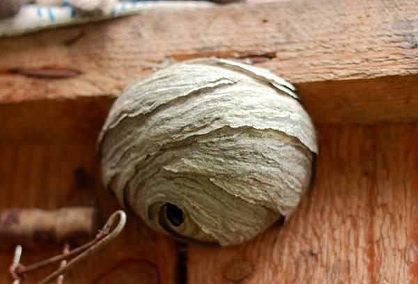 Большое осиное гнездо